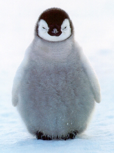 cute-baby-penguins