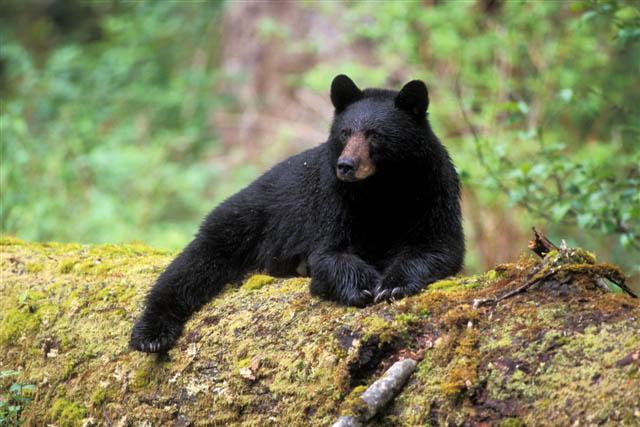 black bear, Ursus americanus, resting on an old growth log in the rainforest, Olympic National Park, Olympic Peninsula, Washington
