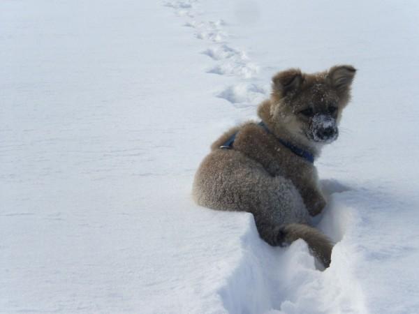 foxy_snow